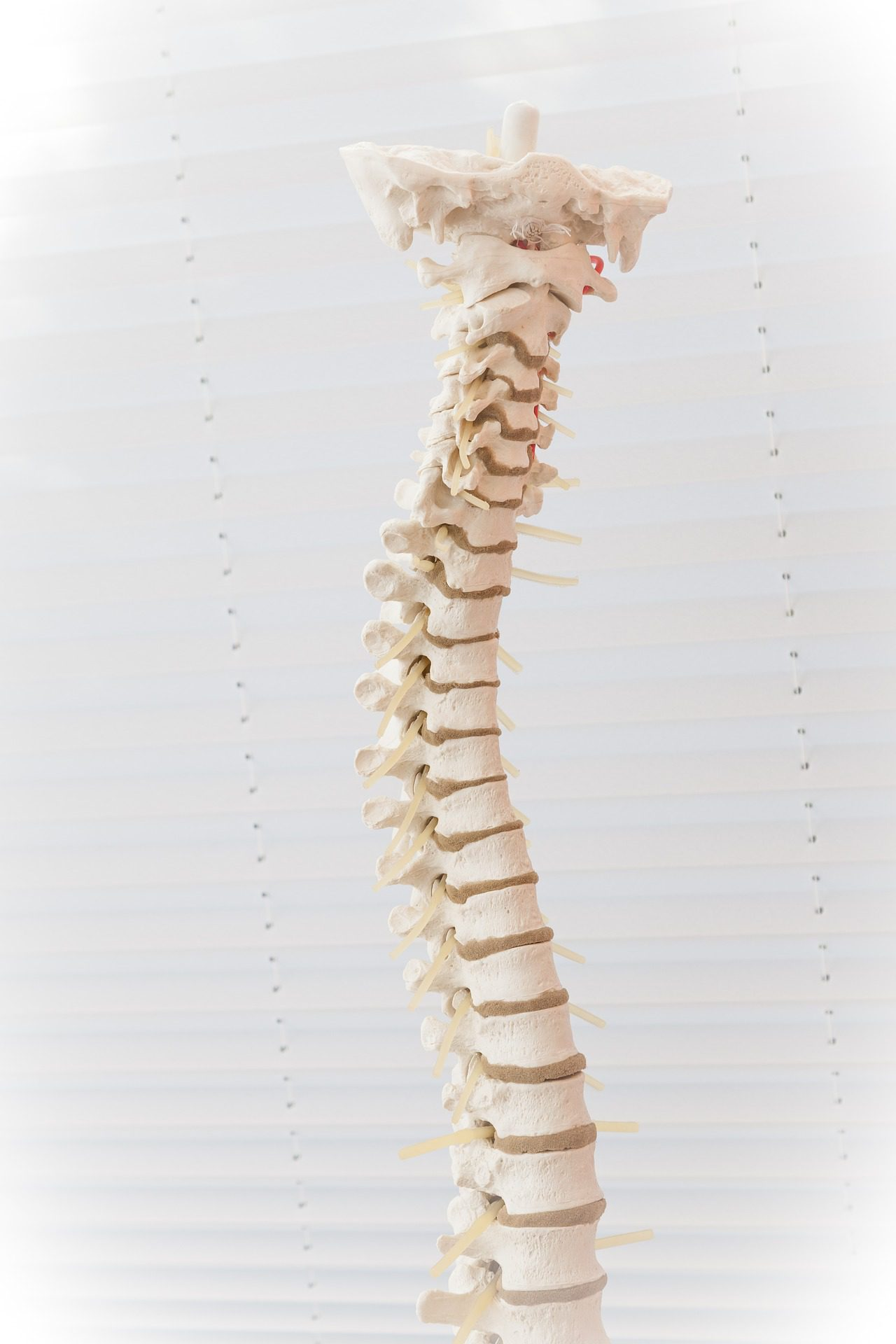 Model of human spine in front of white blinds. Chiropractors are the only professionals trained to specifically diagnose and correct spinal problems naturally